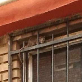 Ciudadanos denuncia la presencia de ratas en el barrio de la Asunción e insta al equipo de gobierno a que tome medidas