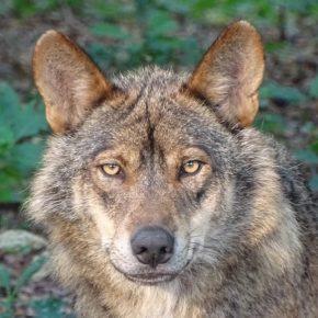 Ciudadanos León insta al Gobierno aque rectifique sobre el régimen de protección del lobo